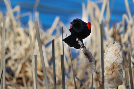 Red winged blackbird sitting on a dried cattail with a blue background. Stock Photo