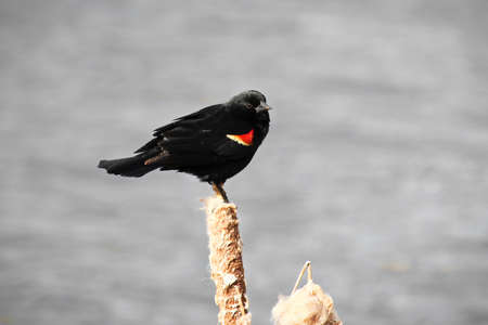 Red winged blackbird sitting on a dried cattail with a grey background.