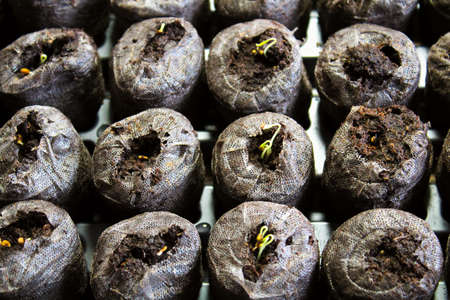 Seedlings sprouting in starter pods.