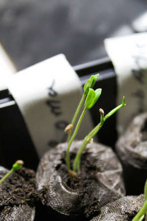 Roma tomato seedling being started in the spring. Stock Photo