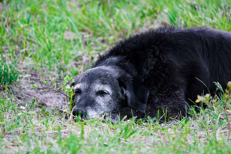 An exhausted senior dog resting on the ground.