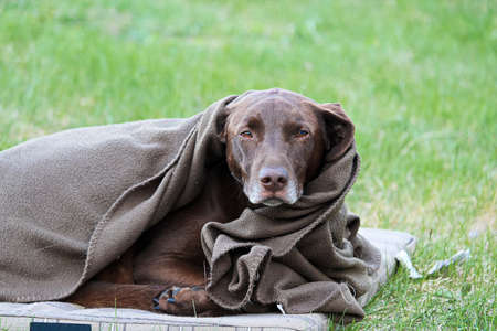 shiver: A very tired and cold dog wrapped in a blanket.