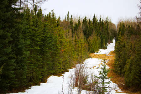 geophysical: A cut line through a spruce forest with snow on the ground. Stock Photo