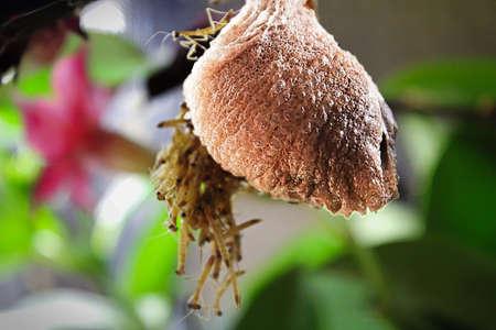 Closeup of a mantis egg case. Stock Photo
