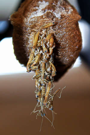 Closeup of  mantis hatching from an egg case