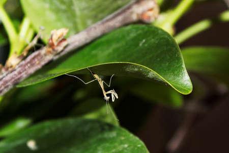 A tiny translucent mantis  after hatching.
