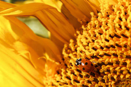 A ladybug covered in pollen crawling over a sunflower. Stock Photo