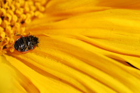 A flipped ladybug on its back covered in pollen on a sunflower.