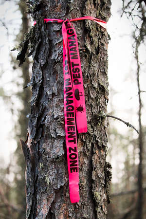 Pest management ribbon tied to a tree that requires removal. Stock Photo