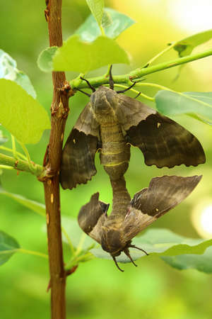The back view of a pair of poplar sphinx moths mating.