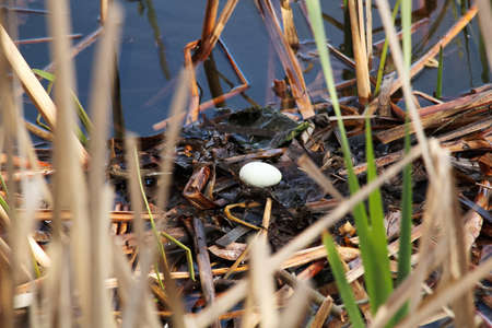 A single egg in a red necked grebe nest as parents leave to feed. Banque d'images