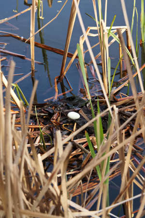 A single egg in a red necked grebe nest as parents leave to feed. 写真素材