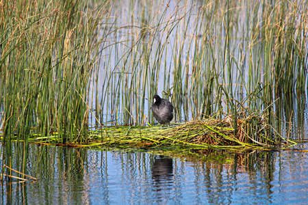 An American Coot stands on a floating platform nest.