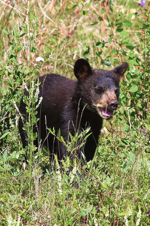 A small black bear cub calls out for its mother.