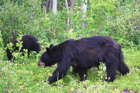 A scrawny black bear and cub tormented by insects.