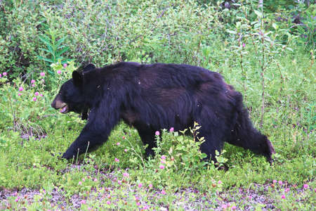 A scrawny black bear tormented by insects.