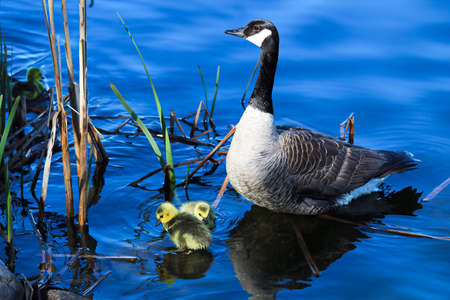 A mother goose watches her goslings as they explore by the shore.