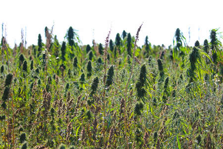 Side view of a non-narcotic hemp field growing outdoors.