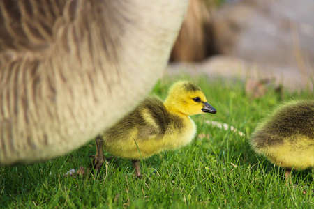 Closeup of a gosling with its parent close by.