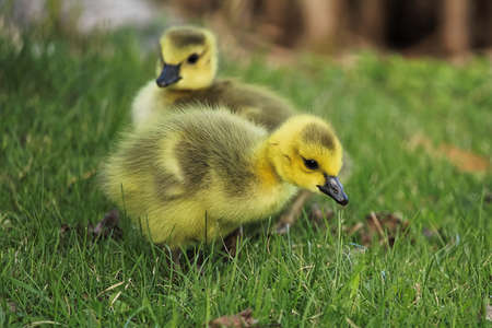 Closeup of two baby goslings in the grass.