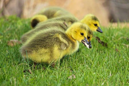 creche: Closeup of goslings eating bread that people feed it.
