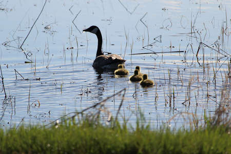 Silhouette of a mother Canadian Goose and her goslings. Stock Photo