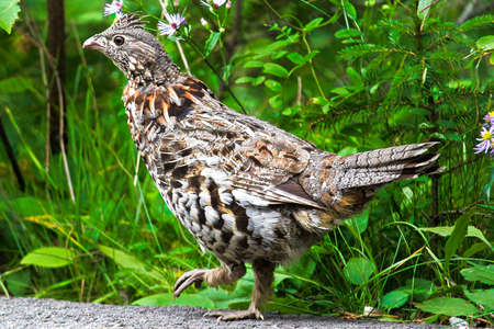 Closeup of a Ruffed Grouse against a green background.