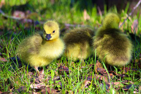Closeup of baby goslings with grass on its beak.
