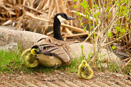 A mother Canadian Goose watching her newly hatched goslings. Stock Photo