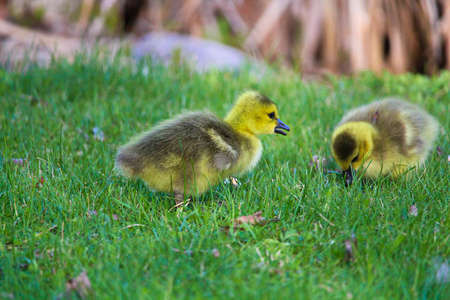 creche: Closeup of two baby goslings in the grass.