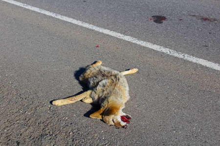 Front view of a dead coyote on the road.