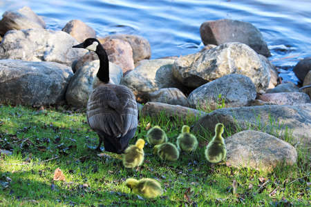 A Canadian Goose watches over goslings by the shore.