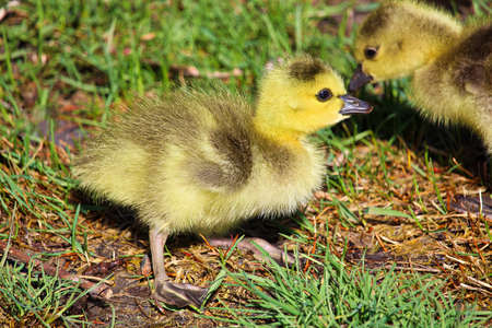 Closeup of day old Canadian Geese goslings.