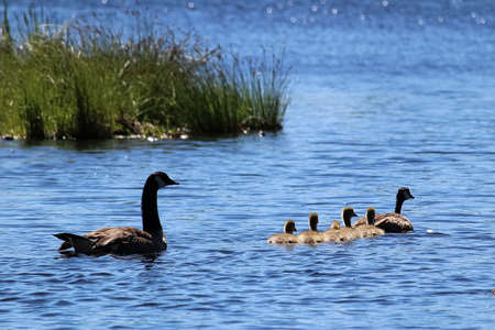 A family of Canada Geese swim in the morning sunlight.