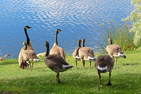 A family of Canadian Geese by the water.