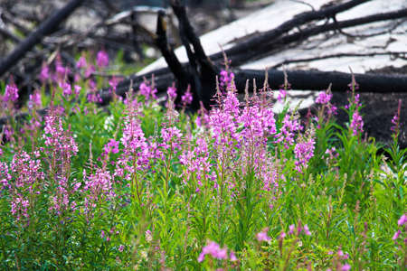 A beautiful view of fireweed growing after a forest fire. Stock Photo