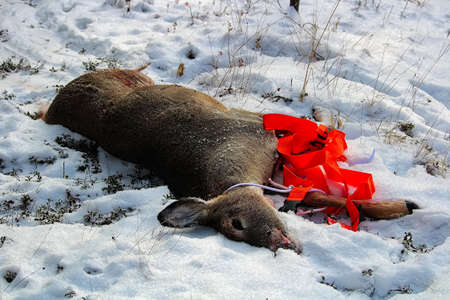 View of a dead deer that has been pulled out of the bush.