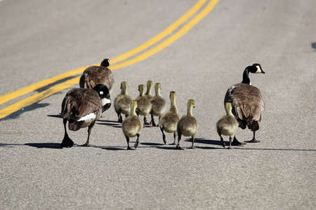 Two families of Canada Geese walking down a highway.