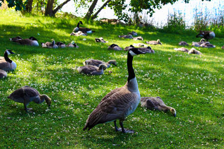 A mother goose guards several juvenile geese families. Stock Photo