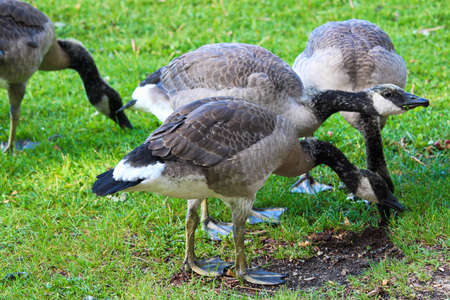 A group of juvenile Canada Geese eating grass. Stock Photo