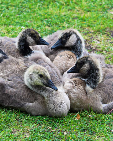 creche: Closeup view of juvenile Canada Geese in various stages of molting. Stock Photo