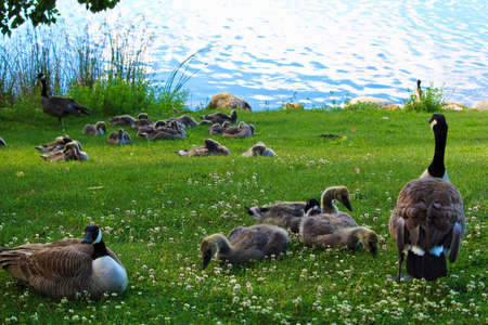 creche: A gathering of juvenile Canada Geese families.
