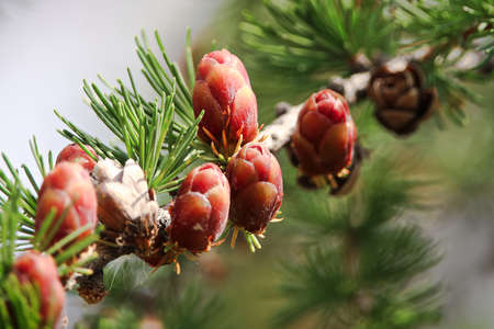Macro view of branches with young tamarack cones.