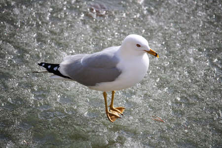 Closeup of a Ring-Billed Gull standing on ice.