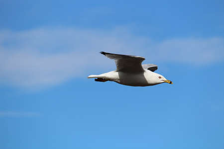 A seagull flying against a blue cloudy sky.
