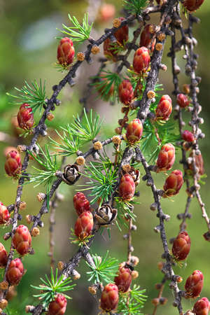 Closeup view of branches with young tamarack cones.