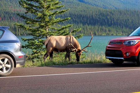 A elk bull along the highway as tourist vehicles stop dangerously close to it.