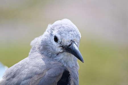 Closeup of a Nutcracker bird head.
