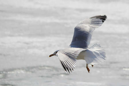 A seagull about to land on ice.