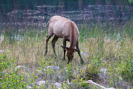 Elk eating grass on a rocky shore.